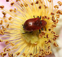 Attelabidae (Leaf Rolling Weevil), Rose Curculio - Merhynchites bicolor