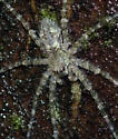 greenish spider 4 mm BG - Dolomedes albineus