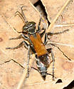 Square-headed Wasp - Liris partitus - female