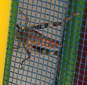 Rusty Red Grasshopper? - Dissosteira carolina