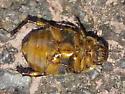 Callistethus marginatus? - Anomala marginata