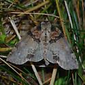 Tufted Thyatirid moth - Pseudothyatira cymatophoroides