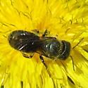 Osmiini 01b - Osmia coloradensis - female