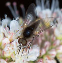 Sandhills Beefly - Geron - male