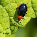 Maybe ladybug - Asphaera lustrans