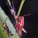 Romalea microptera - Eastern Lubber Grasshopper - Romalea microptera