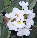 rufous hawk-moth - Enyo lugubris