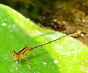 golden damselfly - Enallagma signatum