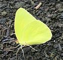 Yellow butterfly  - Phoebis sennae