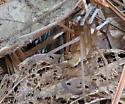 Crevice Weaver - Kukulcania