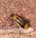 Beetle for ID - Diabrotica virgifera