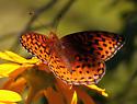 Beautiful Orange Fritillary  - Speyeria hesperis - male