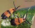 Net-winged beetle - Calopteron
