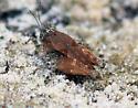 071911Pygmy Grasshopper 2 - Paratettix mexicanus