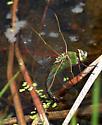 Common Green Darner_Anax junius - Anax junius - female