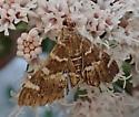 moth - Hymenia perspectalis