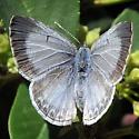 Pacific Azure - Celastrina echo - female