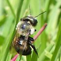 unknown bee - Osmia bucephala