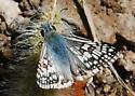 White Checkered Skipper - Pyrgus albescens
