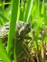 Dogday Harvestfly/Cicada - Megatibicen resh