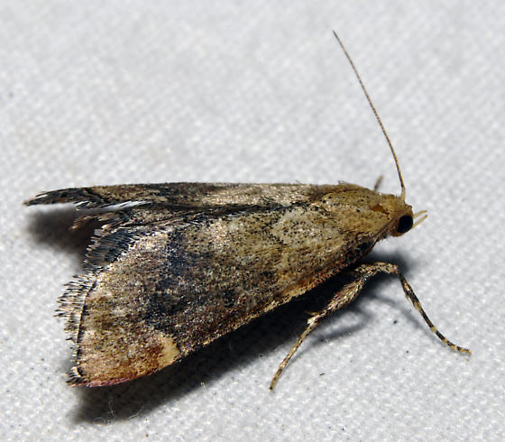 possible Hypsopygia cohortalis  - Hypsopygia cohortalis