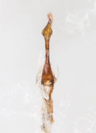 Leafhopper - Flexamia sandersi - male