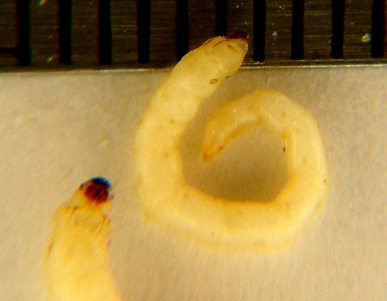 Slow mo larvae - Nematodes penetrans