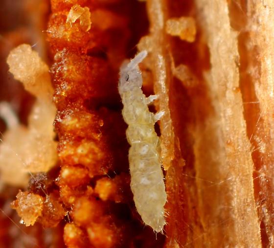 Collembola - Schaefferia duodecimocellata