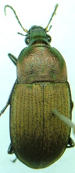 Chlaenius tomentosus