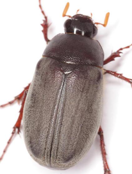 Phyllophaga micans (Knoch) - Phyllophaga micans