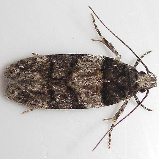 White-banded Telphusa Moth - Hodges#1857 - Pubitelphusa latifasciella