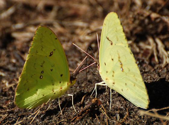 Sulphers match color of garden hose. - Phoebis sennae - male - female