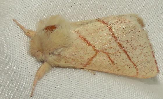 Moth 4 - Hyparpax aurostriata - male