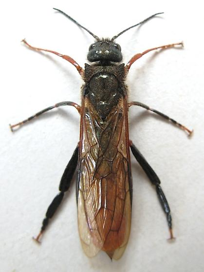 Sirex Horntail - Sirex varipes - male