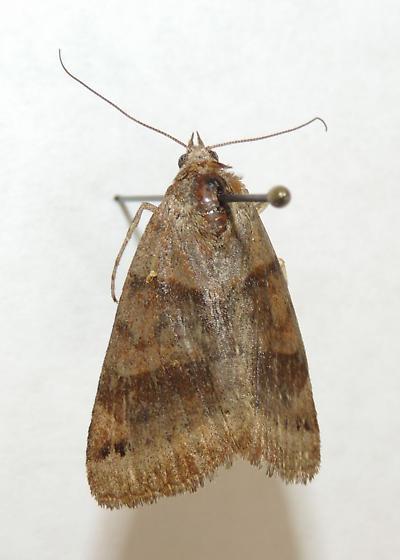 Moth 11 - Caenurgina crassiuscula