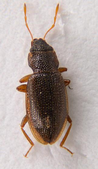 Helophorinae? - Hydraena
