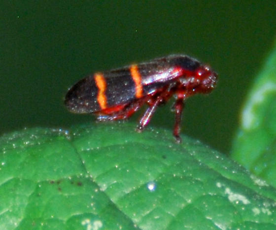 Prosapia bicincta - Two-lined Spittlebug? - Prosapia bicincta