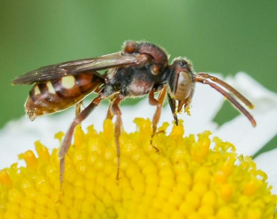 small bee - Nomada - female