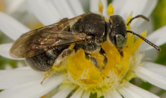 Calliopsis? small mining bee - Pseudopanurgus
