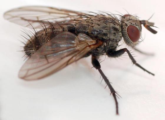 tachinid fly - Triarthria setipennis