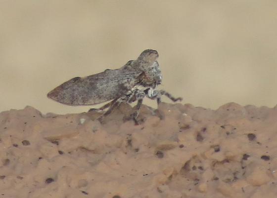 treehopper - Microcentrus perditus