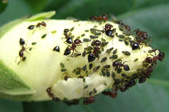 Aphids and Ants - Aphis