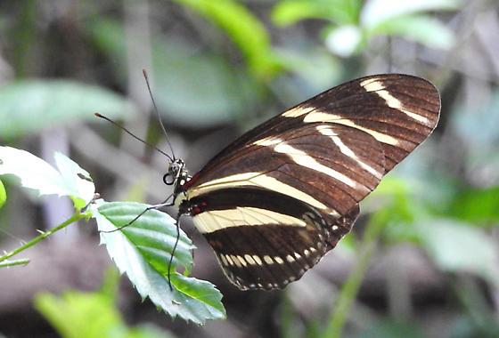 Heliconius charithonia  - Heliconius charithonia