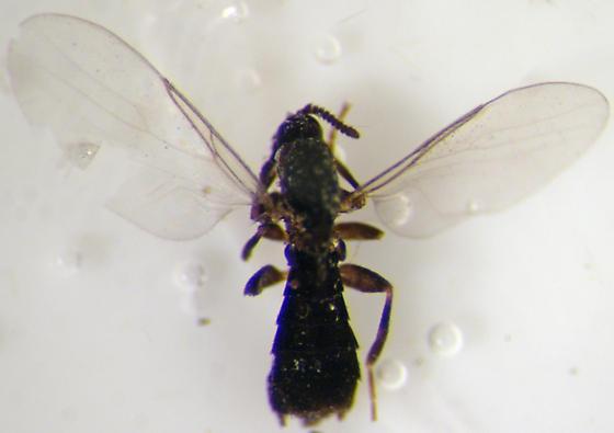 Coboldia - Coboldia fuscipes - male