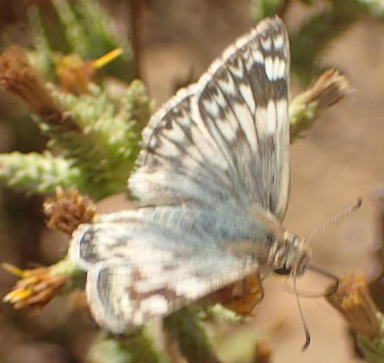 Is this Pyrgus albescens? - Heliopetes ericetorum