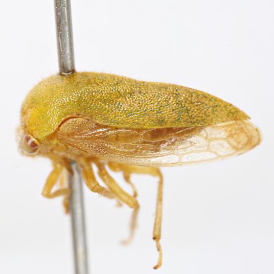 Ophiderma evelyna Woodruff - Ophiderma evelyna