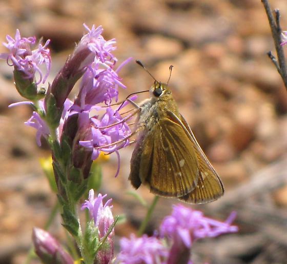 Pawnee Montane Skipper - Hesperia leonardus - female