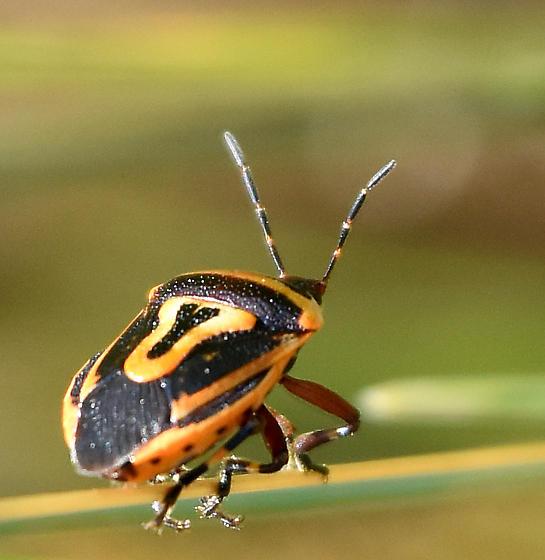 Two-spotted Stink Bug  - Perillus bioculatus