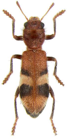 Enoclerus sp. - Enoclerus rosmarus