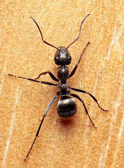 Formica subsericea